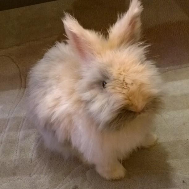 Pure Niedlichkeit ♥ #Micky #adopdontshop #cagefree #rabbit #bunny #Kaninchen