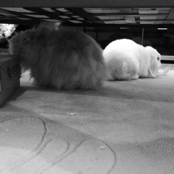 Was hier so um die Uhrzeit unter dem Wohnzimmertisch abgeht....#Kaninchen #rabbits #bunny #adopdontshop #cagefree #Chaos #Stinker #Micky #Martha