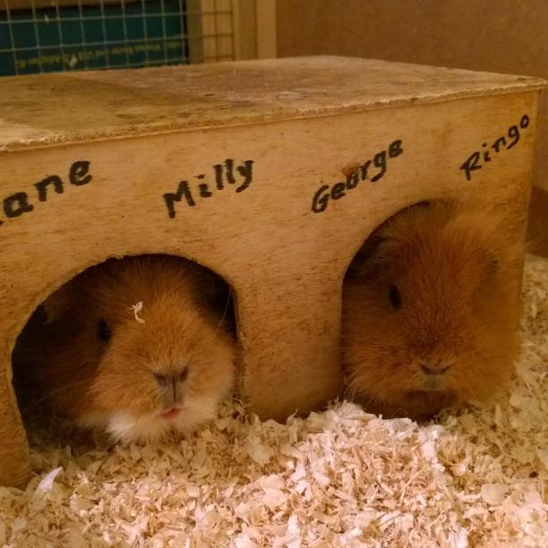 Unsere beiden Überraschungseierjungs zusammen in einer Hütte. ?#George #Ringo #namedlikeaBeatle #guinepigs #Meerschweine